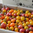 有機栽培ミニトマト【ギフト】(季節商品)