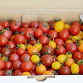 有機栽培ミニトマト(季節商品)詳細
